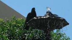 28-5-12 13h47 Rota bain de pigeons dans la fontaine.JPG