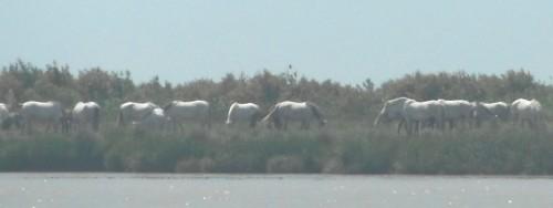 22-5-12 15h46Guadalguivir troupeau de chevaux (2).JPG